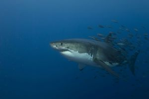 Female great white shark with a school of bait fish