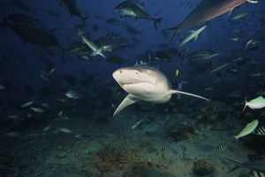 A Lemon Shark swims through a large school of reef fish, Fiji