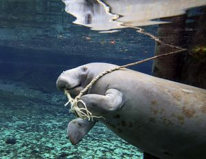 A manatee chews on a dock rope in Fanning Springs State Park, Florida