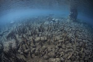 Mangrove roots rise from the seafloor of an island in Indonesia