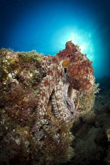 Octopus posing on reef, La Paz, Mexico