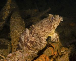 An oyster toadfish sitting inside the USS Indra shipwreck