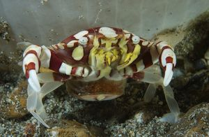 Red and white harlequin crab releasing its eggs, Indonesia
