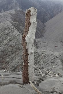 Remains of tree with bark stripped off by pyroclastic flows of Chaiten volcano, Chile