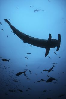 A scalloped hammerhead shark swims near Cocos Island, Costa Rica