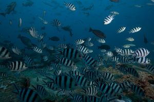 School of sergeant major fish at The Bistro dive site in Fiji
