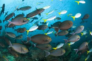 Schooling yellowmask surgeonfish with blue and yellow fusilier fish