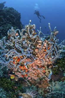 A scuba diver explores a colorful coral reef in Indonesia