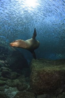 Sea lion chasing a school of bait fish, La Paz, Mexico