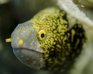 Snowflake moray eel in Costa Rica