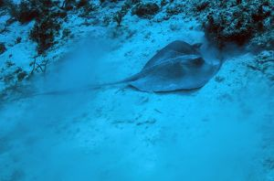 A stingray stirs up the sandy bottom off the coast of Grandy Cayman Island
