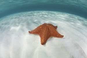 A West Indian starfish on the seafloor in Turneffe Atoll, Belize
